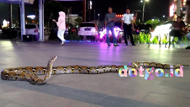 Ular sanca 5 meter diklaim sebagai ular sanca terbesar dan terpenjang