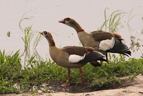 Egyptian Geese, Zimbabwe