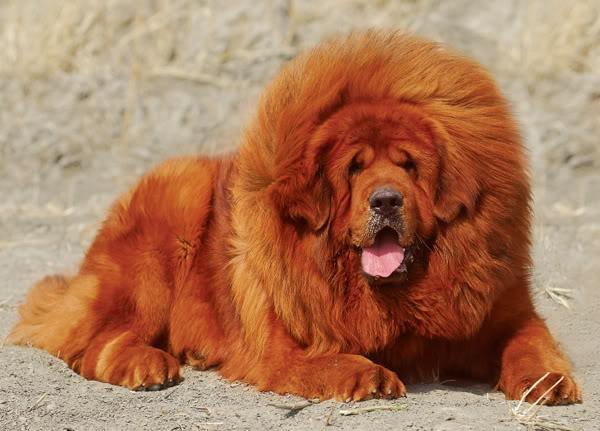 Chó Ngao Tây Tạng thuần chủng. Cách nuôi chó Ngao Tây Tạng ở Việt Nam