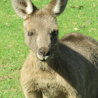 Merimbula - Pambula Beach - Kängurus
