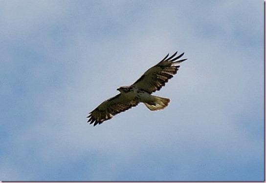 ospreyIMG_0467