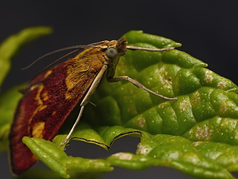 Papillon à la menthe G1290731
