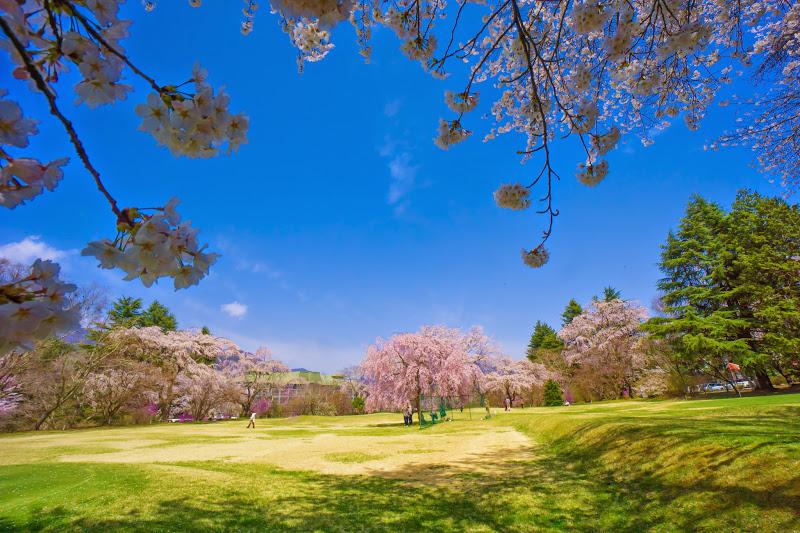 富士ビューホテル 桜 写真10