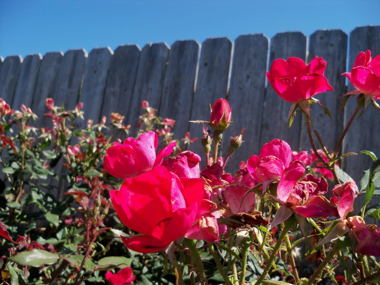Gardening 2013 - 115_6203.JPG