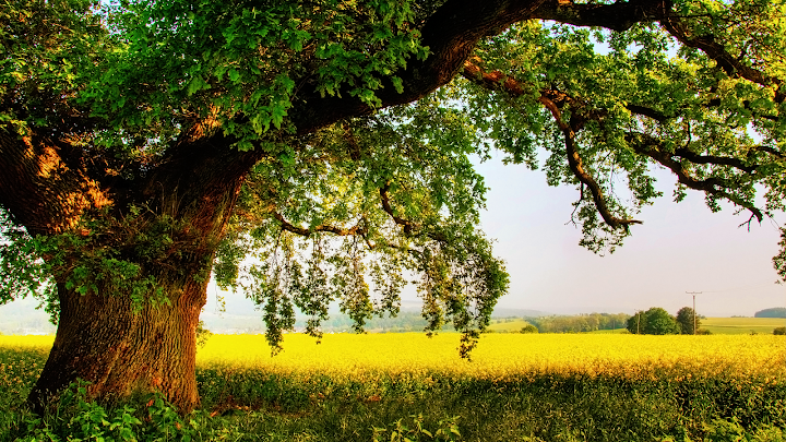 mustard field old oak wallpaper, spring meadow, country oak