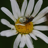 Thomisidae : Misumena vatia (CLERCK, 1757). Les Hautes-Lisières (Rouvres, 28), 15 juin 2012. Photo : J.-M. Gayman
