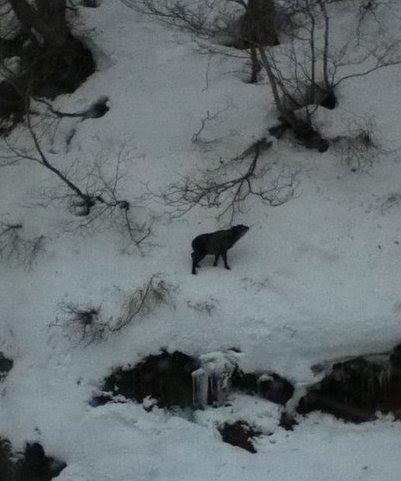 Dragondola_goat