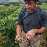Ces grains qui semblent pourris sont bons, si vous avez un doute goutez, ce qui est bon en bouche est bon pour le vin