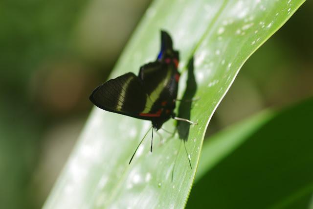 Rhetus periander laonome (Morisse, 1838). Bosque Bavaria (Villavicencio, Meta, Colombie), 9 novembre 2015. Photo : J.-M. Gayman