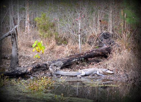 Cuddo Alligator