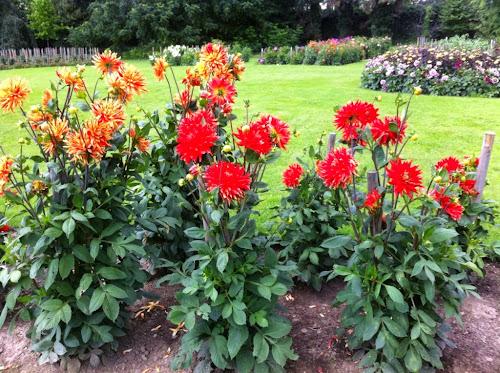 Dahlia jardin des plantes lille