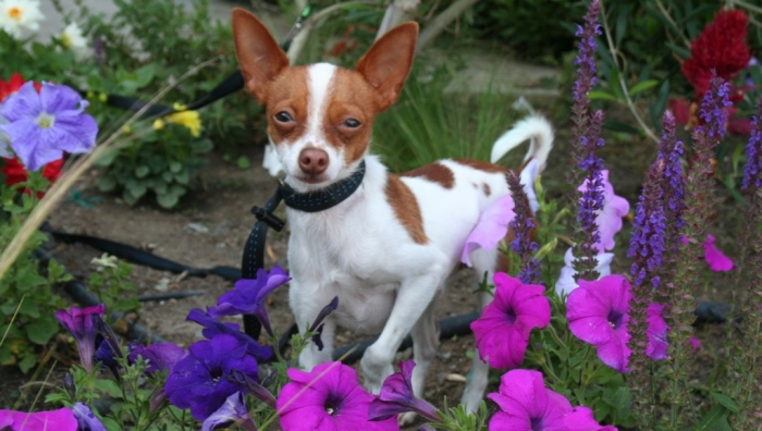 tiny white and rust colored chihuahua in a flower bed, surrounded by petunias and salvia