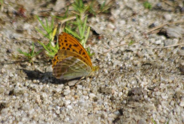 Argynnis paphia (L., 1758), mâle. Paulhac-en-Margeride, 1230 m (Lozère), 19 août 2013. Photo : J.-M. Gayman
