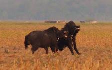 Wild Boar fighting