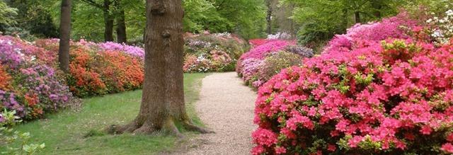 evergreen-azaleas