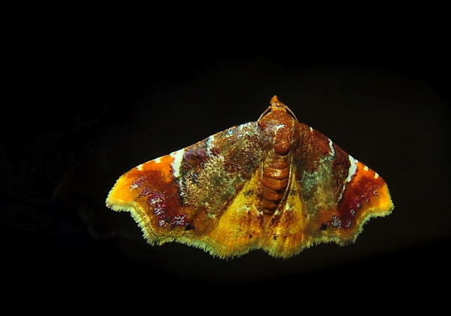 Noctuidae : Acontiinae : Corgatha omopis MEYRICK, 1902. Umina Beach (N. S. W.), 20 novembre 2011. Photo : Barbara Kedzierski