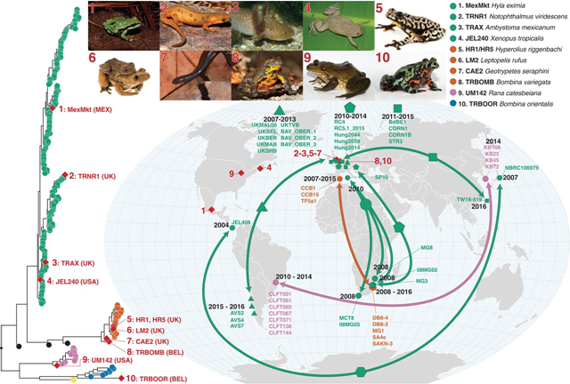 Genotypes of Bd isolated from infected amphibians in the international trade and phylogenetically linked genotypes from segregated geographic localities. The red diamonds on the phylogeny indicate isolates recovered from traded animals. Their geographic location is displayed by the red diamonds on the map. The red numbers link each trade isolate to the relevant picture of the donor host species atop the figure and their placement in the phylogeny. The arrows on the map link geographically separated isolates that form closely related phylogenetic clades with high bootstrap support (≥90%). Each clade is denoted by a different-shaped point on the map; names of isolates within each clade are displayed on the map. The dates displayed indicate the sampling time frame for each clade. Graphic: O'Hanlon, ewt al., 2018 / Science