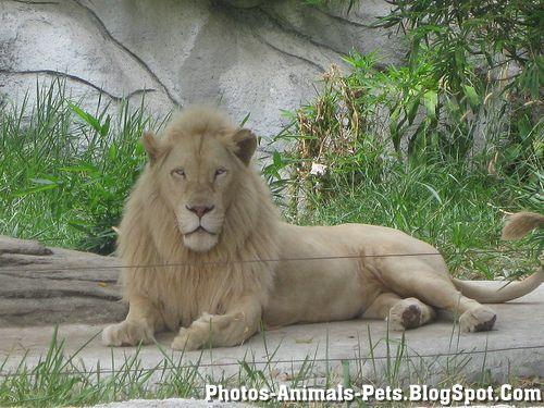 https://lh3.googleusercontent.com/-KPysKZWBd28/TXxmLDIWE8I/AAAAAAAAAG0/naq0DHY9CU8/s1600/Animal+pictures+_lion.jpg