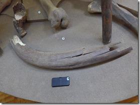 musee d'histoire2 defense de mamouth