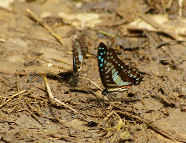 Graphium doson evemonides REEVES, 1966. Sukau (Sabah), 3 août 2011. Photo : J.-M. Gayman