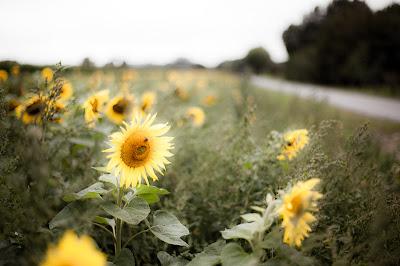Sonnenblumen am Maisfeld