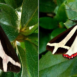 Arctiinae : Dysschema sacrifica (HÜBNER, 1831). Environs de Curitiba, Paraná. 10 mars 2011. Photo : Mauricio Skrock