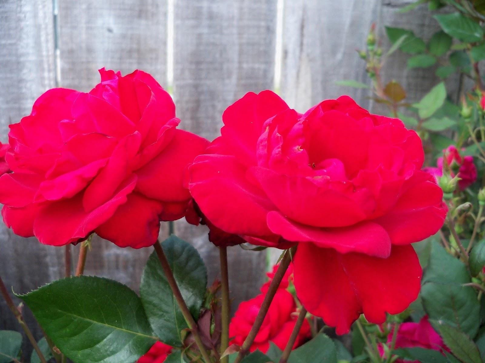 Gardening 2011 - 100_7749.JPG