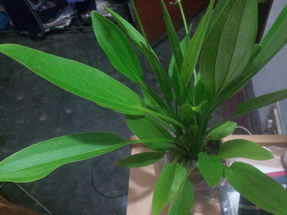 Эхинодорус лопатолистный (Echinodorus palifolius)