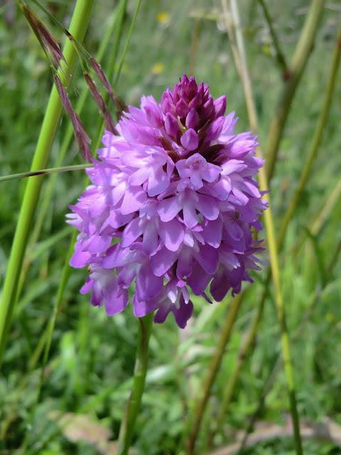 CIMG7453 Pyramidal Orchid, Otford