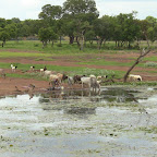 A woman and livestock sharing water in Boura