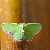 Synchlora pulchrifimbria (Warren, 1907). Santa Fe (Veraguas, Panamá), 18 octobre 2014. Photo : J.-M. Gayman