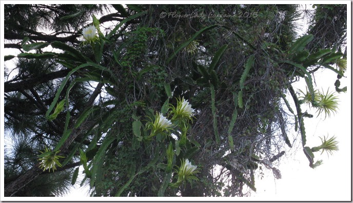 08-07-night-blooming-cereus5