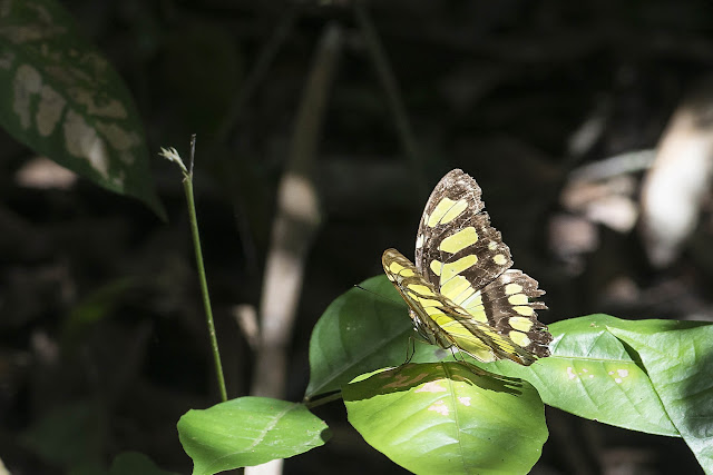 Siproeta stelenes (Linnaeus, 1758). Fundo Palmarito, 265 m (Casanare, Colombie), 7 novembre 2015. Photo : B. Lalanne-Cassou