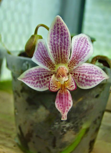 Phalaenopsis Alyos DSC01813