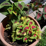 Gardening 2010, Part Three - 101_4472.JPG