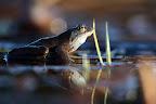 FEERIE   Réveil printanier des grenouilles rousses au lac de l'Embouteilleux (39)