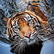 К чему снится тигр?