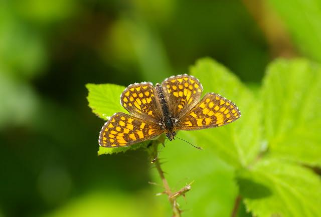 Mellicta athalia ROTTEMBURG, 1775, femelle. Les Hautes-Lisières (Rouvres, 28), 21 juin 2011. Photo : J.-M. Gayman