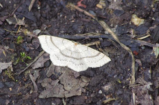 Geometridae : Sterrhinae : Cyclophora punctaria (LINNAEUS, 1758). Les Hautes-Lisières (Rouvres, 28), 10 juin 2013. Photo : J.-M. Gayman