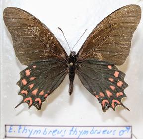 E. THYMBREUS THYMBREUS.JPG