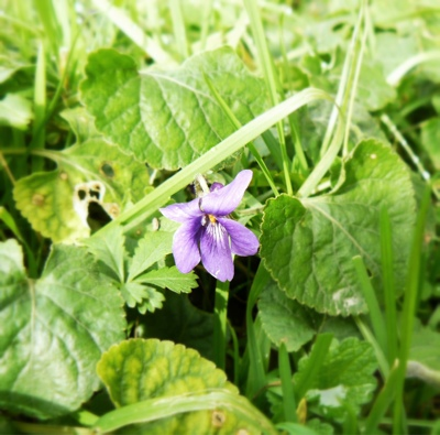French Village Diaries Violets Spring