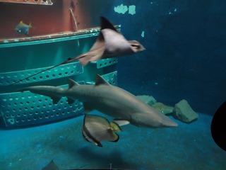 2016.05.01-038 requin et raie aigle