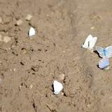 Divers lycènes mud-puddlant dont Polyommatus coridon coridon (PODA, 1761) à droite. Villeneuve, 1000 m (Causse Méjean, Lozère), 10 août 2013. Photo : J.-M. Gayman