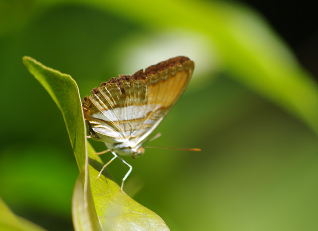 Adelpha cytherea (LINNAEUS, 1758). Saut Athanase, 7 novembre 2012. Photo : J.-M. Gayman