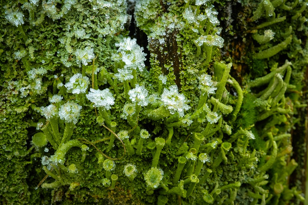 """""""Frosted Lichen"""" by Valerie Henschel - A Special"""