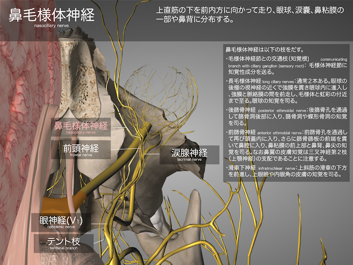 2014-29a05鼻毛様体神経2048-1536.png