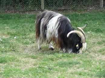 2018.07.01-008 chèvre des fossés