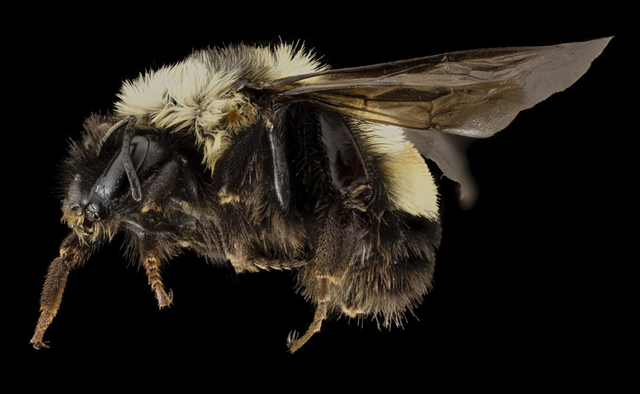 Bombus affinis, the rusty patched bumblebee. In January 2017, the U.S. Fish and Wildlife Service (FWS) declared that it was placing the rusty patched bumblebee on the U.S. endangered species list. Photo: USGS Bee Inventory and Monitoring Lab