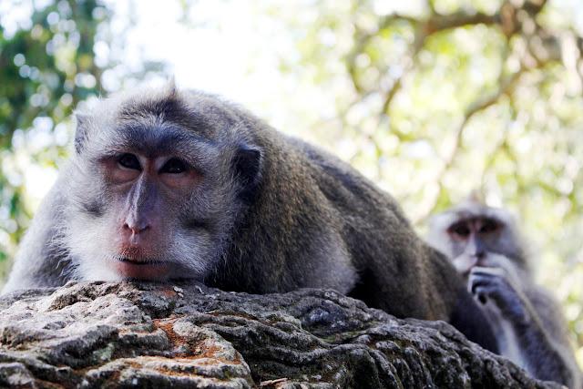 Un mono tumbado mientras le despiojan en el Monkey Fores