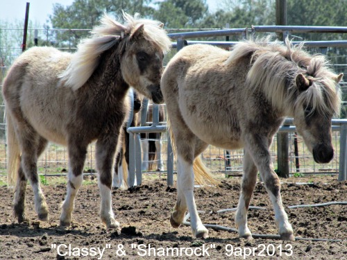 Shamrock and Classy